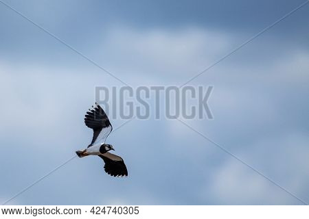 Two Black And White Nothern Lapwing Birds Flying Close To Each Other On A Partially Blue Sky. It Is