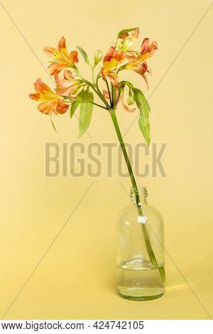 Natural orange Alstroemeria HipHop flower in glass bottle