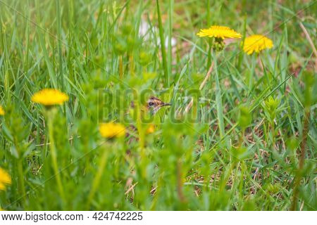 The Redwing, Turdus Iliacus, On A Green Field With Yellow Dandelions. The Bird Is Standing On The Gr