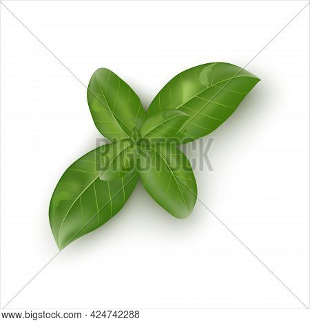 Green Fine-leaved Basil. Fresh Organic Basil Leaves, Close-up, Isolated On White Background. Label O