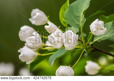 White Blossoming Apple Trees. White Apple Tree Flowers. Spring Season, Spring Colors