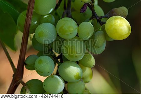 Close Up View Of Green And Yellow Grapes On Branch With Leaves In Vineyard At Summer. Fresh Ripe Jui