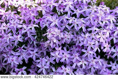Creeping Phlox Or Phlox Subulata Pink Flowers Blooming In Bright Day Outdoors.
