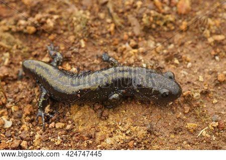 An Adult Western Longtoed Salamander, Ambystoma Macrodactylum Macrodactylum , With A Missing Tail