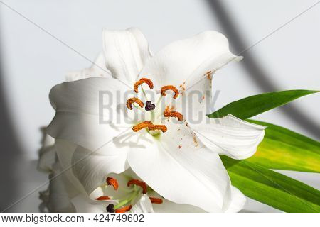 Beautiful Sunlit White Lily With Orange Stamens And Green Foliage