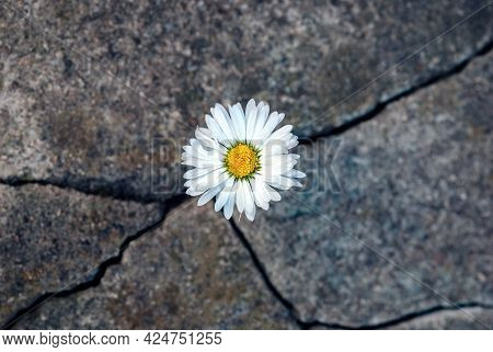 White Daisy Flower In The Crack Of An Old Stone Slab - The Concept Of Rebirth, Faith, Hope, New Life