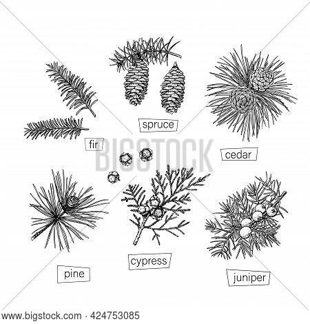 Black Coniferous Sketch Set In Vintage Style On White Background. Vector Hand Drawn. Retro Illustrat