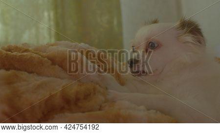 Close Up Of Sleepy White Spitz Licking Mistress Leg, Lying On Bed. Relaxed Cute Dog Meditates And Fa