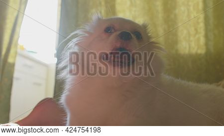 Close Up Of White Spitz Lying On Bed And Breathing With Her Mouth Open. Relaxed Cute Dog With Its To