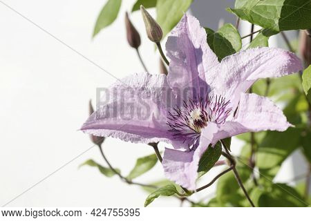 Beautiful Pink Flower With Large Petals On Flowerhead On White Background.