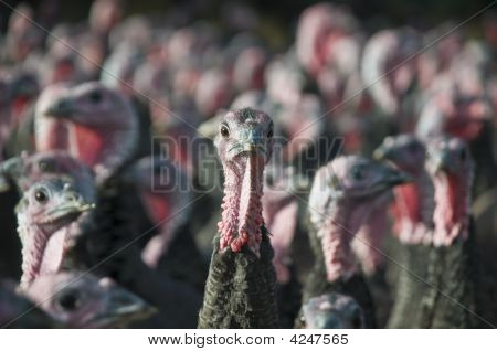 A single Turkeys head with other Turkeys in the background out of focus poster