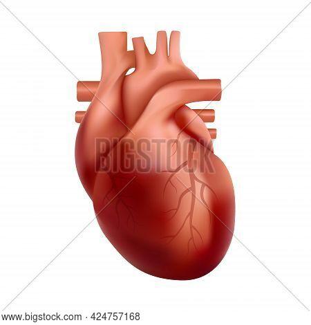 Realistic Human Heart Internal Organ Anatomy. 3d Illustration