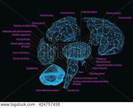 Wireframe Of The Human Brain Is Disassembled Into Parts With The Designation Of The Name Of Each Seg