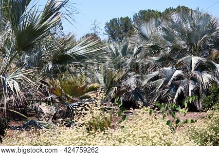 Buckwheat Plant Flower Blossoms Besides Mexican Blue Palm Trees Which Are Native To Baja California