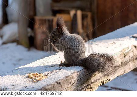 Gray Squirrel Eating Breadcrumbs On Wooden Log In Winter