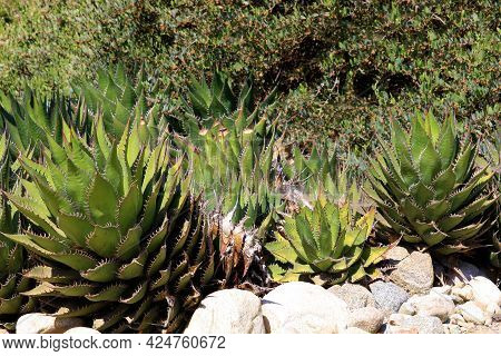 Agave Plants Surrounded By Rocks With Chaparral Shrubs Beyond Taken At A Drought Tolerant Garden In