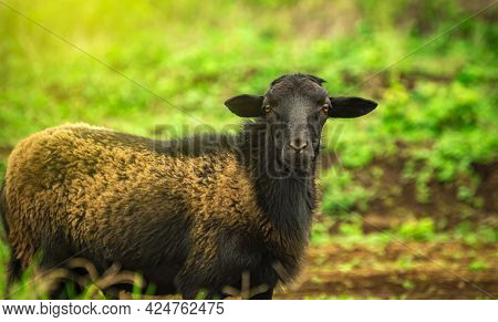 Photo Of A Sheep Eating Grass, Portrait Of A Sheep In The Field, Close Up Of A Couple Of Sheep In Th