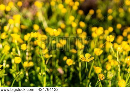 One Buttercup Flower Against Blurry Background Of Yellow Wildflowers
