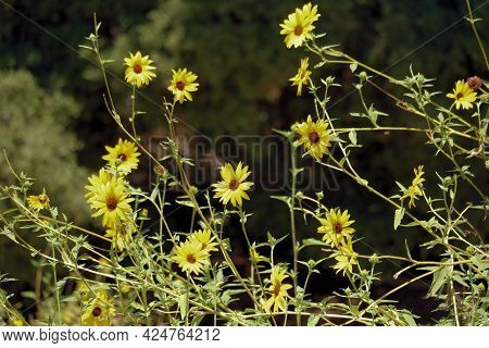 California Sunflowers Also Known As Prairie Sunflowers On A Rural Prairie Taken At A Chaparral Woodl
