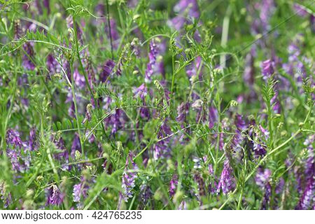 Hairy Vetch Multiple Plants In Bloom View Of It