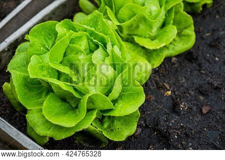 Fresh Organic Green Butterhead Lettuce Growing On A Natural Farm. Photosynthesis Salad Vegetables On