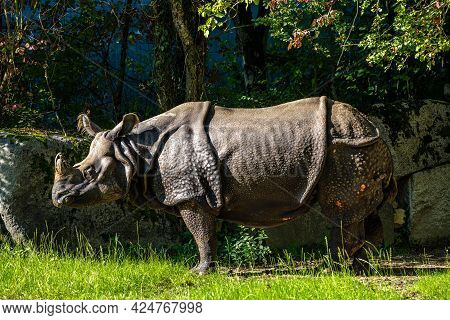 The Indian Rhinoceros, Rhinoceros Unicornis Is Also Called Greater One-horned Rhinoceros And Asian O
