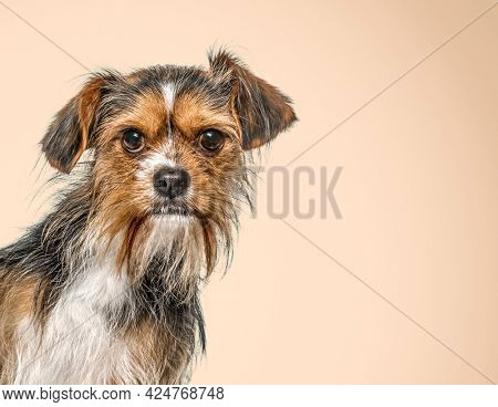 Head shot of a Mixed breed dog - with a Yorkshire - In front of a pastel backgroung