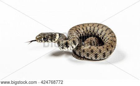 Young Grass snake, Natrix natrix, Isolated on white
