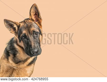 Close-up of a Young German Shepherd dog in front of an orange background