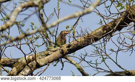 Brown-headed Barbet Enjoying A Tasty Fruit Photo.