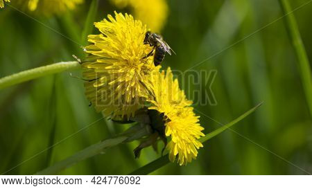 Honey Bee Sitting On A Dandelion Flower. Yellow Flower With A Bee, Collects Nectar. Bee On A Wildflo