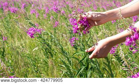 Hand-picked Of Fireweed In The Meadow. Human Hands Gathering Leaves Of Willow-herb, Selective Focus.