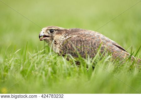 Close-up Of A Buzzard Bird Of Prey Head, Beak Open, Sits In The Grass With Blood In Its Beak