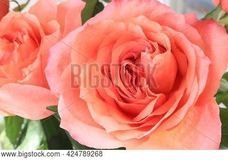 Beautiful Delicate Bright Pink Rose, Close Up
