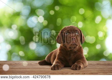 Cute Chocolate Labrador Retriever Puppy On Wooden Surface Outdoors, Bokeh Effect. Adorable Pet