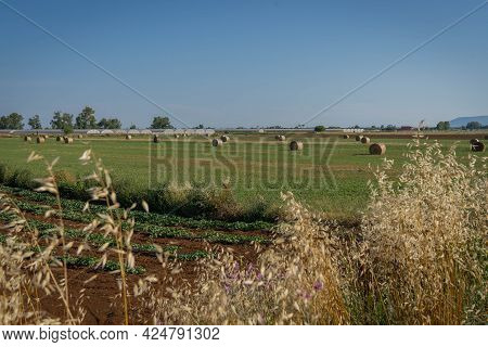 Plowed Field, Field With Compressed Sheaves And Dry Ears In Foreground In Province Of Latina, Fronzi