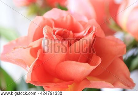 Beautiful Delicate Pink Rose Flower, Soft Focus, Close-up Natural Background