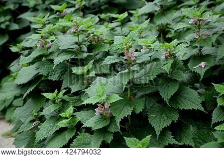 Lamium Orvala, Commonly Known As Balm-leaved Archangel, Is A Species Native To Central - Eastern Eur