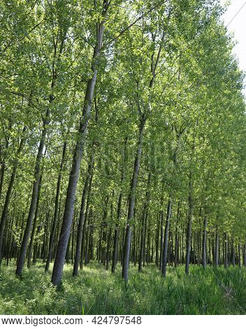 Poplar Grove With Many Young Trees With Long Trunks Planted To Obtain Cellulose For The Paper Indust