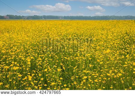 Field Full Of Yellow Buttercups In Spring, East Groningen Province, The Netherlands