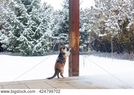 Calico Cat Sharpening Its Claws On Wooden Pillar Of Covered Veranda. Snowy Yard In Background