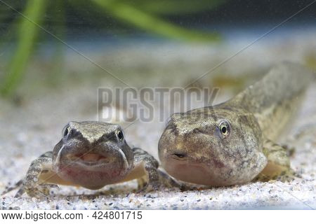 Tadpole And Small Frog Of Edible Frog Swimming In The Lake