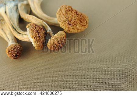 Psilocybe Cubensis Mushrooms In Man's Hand On Ivory Background. Psilocybin Psychedelic Magic Mushroo