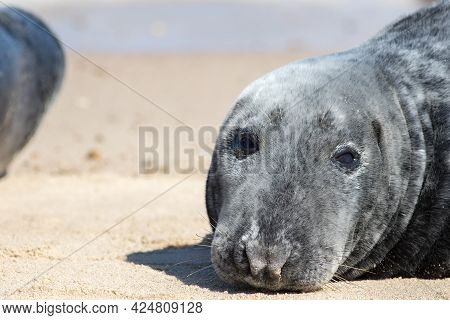 Seal Face Close-up. Adult Grey Seal Portrait Close Up. Beautiful Wild Gray Seal (halichoerus Grypus)