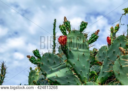 Red Opuntia Flower Growing On A Green Succulent Prickly Bush Of A Cactus, Close-up. Part Of Prickly