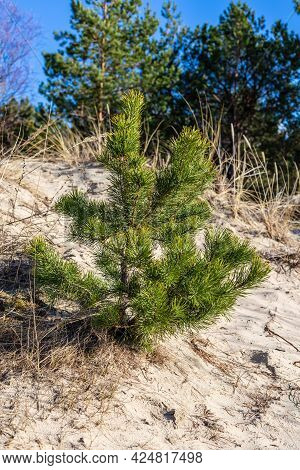 Small Pine Tree Growing In Sand At Beach. Vertical Photo Of Baby Pine Tree At Sunny Day In White San