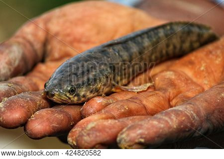 Snakehead Murrel Fish In Hand Channa Fish In Hand Of Farmer