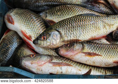 Freshly Harvested Rohu Carp Fish In Plastic Crate Baskets Fish Packing In Baskets For Transport