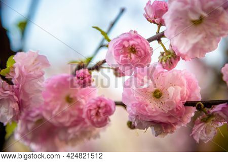 Spring Cherry Blossoms, Pink Flowers Of Sakura Background Nature
