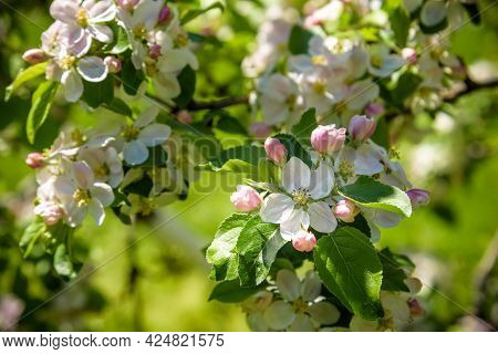 Closeup Blossoming Tree Brunch With White Flowers. Flowering Of Apple Trees.